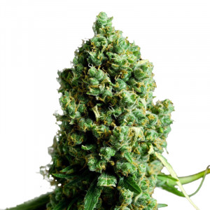 BIG BUD Autoflowering Marijuana Seeds