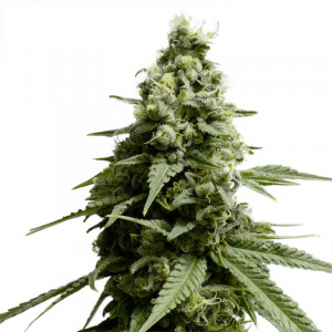 BORDERLINER XTRM ® FEMINIZED Cannabis Seeds