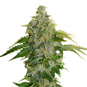 CRYSTAL RAIN Cannabis Seeds