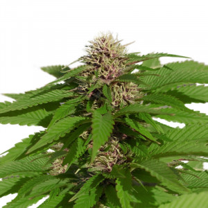 GORGONZOLA FEMINIZED Cannabis Seeds