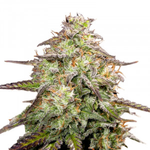 M.O.A.B - MOTHER OF ALL BUDS Feminized Marijuana Seeds