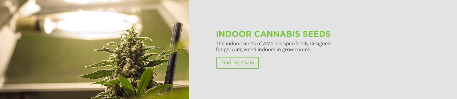 Indoor Cannabis Seeds