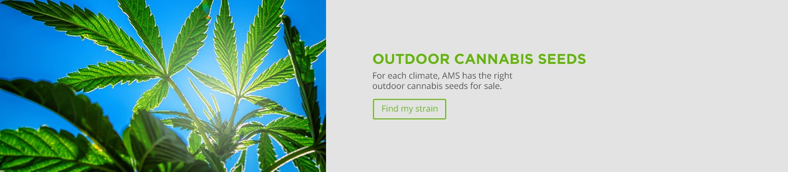 Outdoor Cannabis Seeds