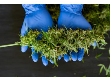 All you need to know about harvesting cannabis