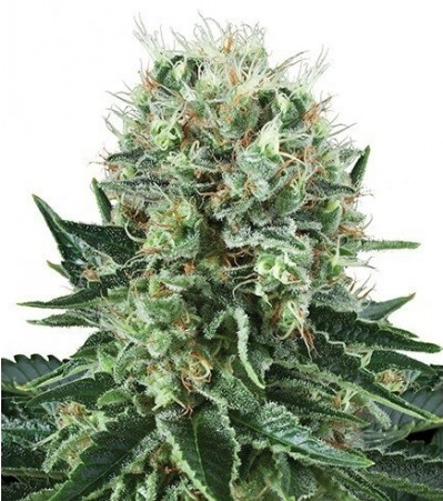 Big_Bubble_cannabis_flower