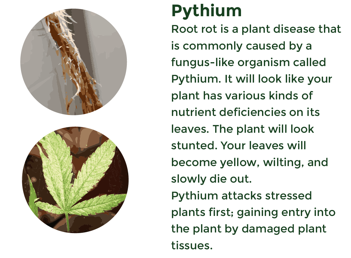Root Rot caused by pythium