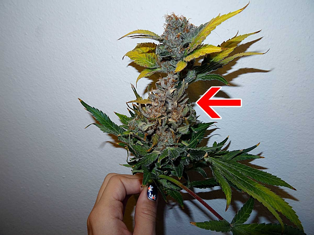 Bud Rot on a cannabis plant