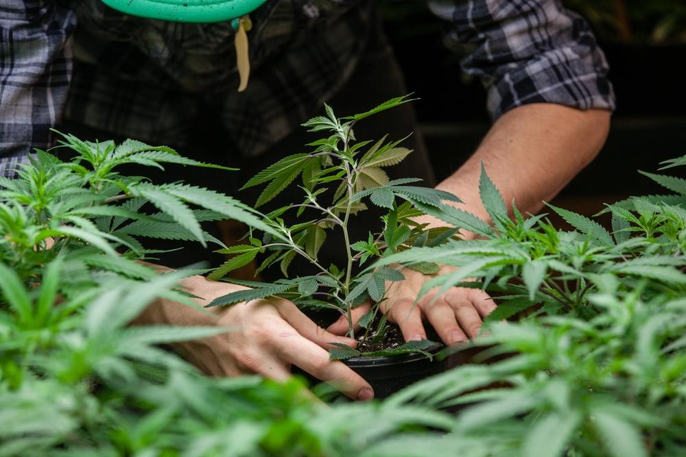 farmer cultivating cannabis