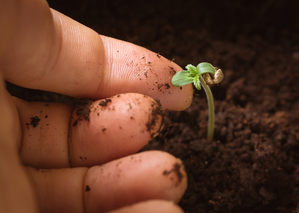 hand touching baby cannabis plant