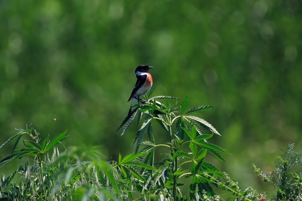 Protecting your cannabis garden from birds